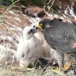 Rare birds nesting at Mountsorrel Quarry