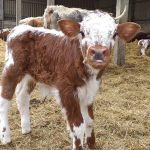 Panshanger Park welcomes new Longhorn calves