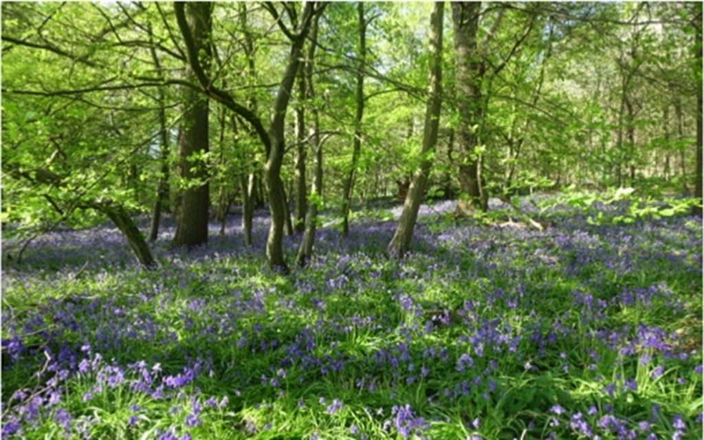 Plea to help preserve spring bluebells at Panshanger Park