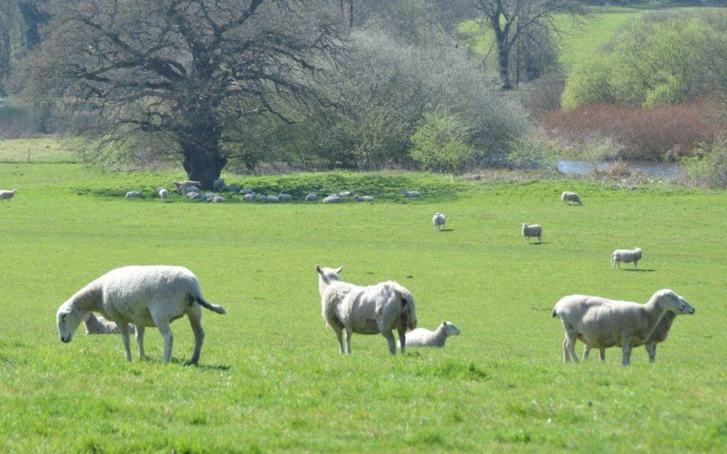 Renewed plea to dog owners as sheep return to Panshanger Park